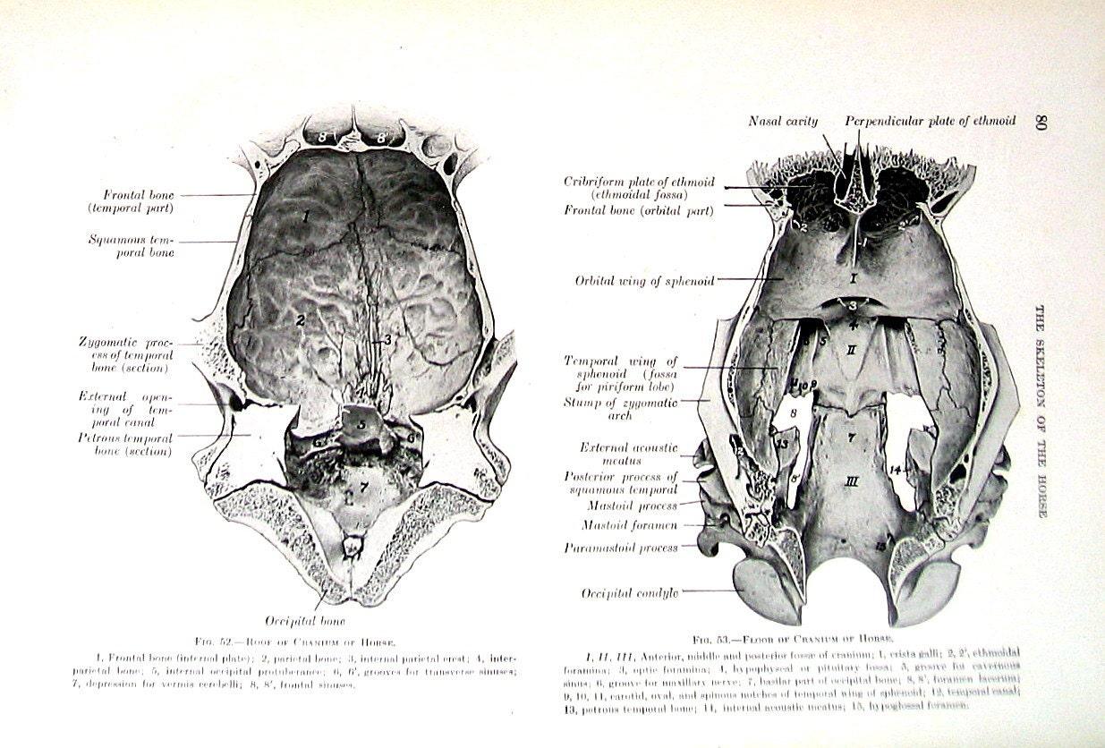 Anatomie Schädel des Pferdes 1917 tierischen | Etsy