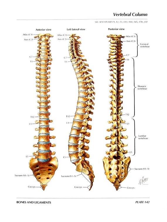 Anatomía imprimir Columna Vertebral vértebras torácicas | Etsy