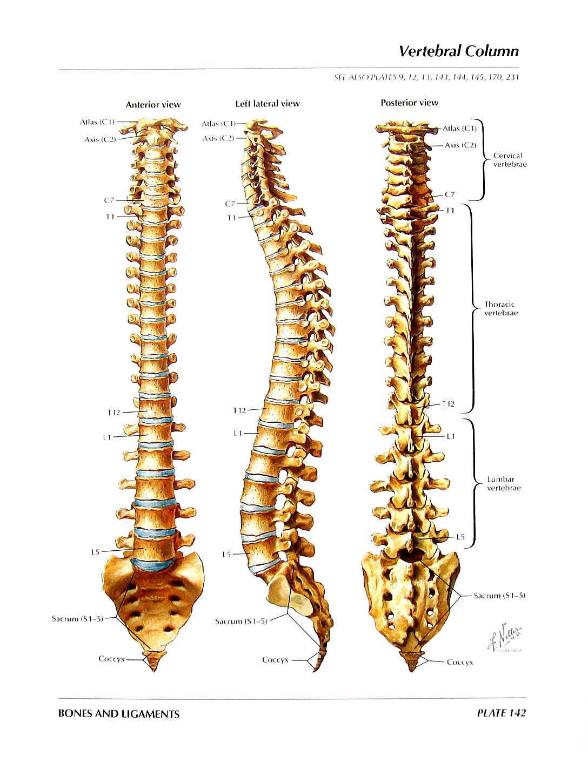 Anatomy Print Vertebral Column Thoracic Vertebrae Human Etsy