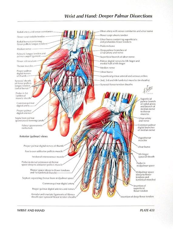Anatomía grabado muñeca de la mano Palmar disecciones | Etsy