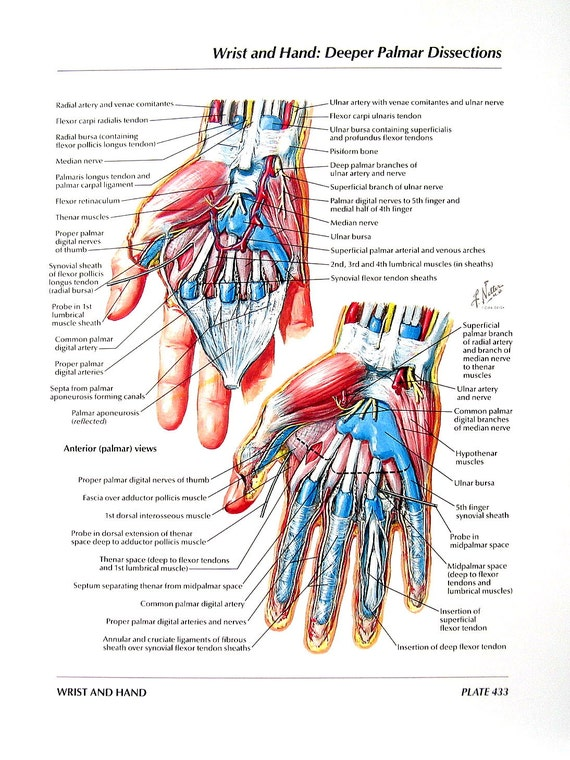 Anatomy Print Wrist Hand Palmar Dissections Flexor | Etsy