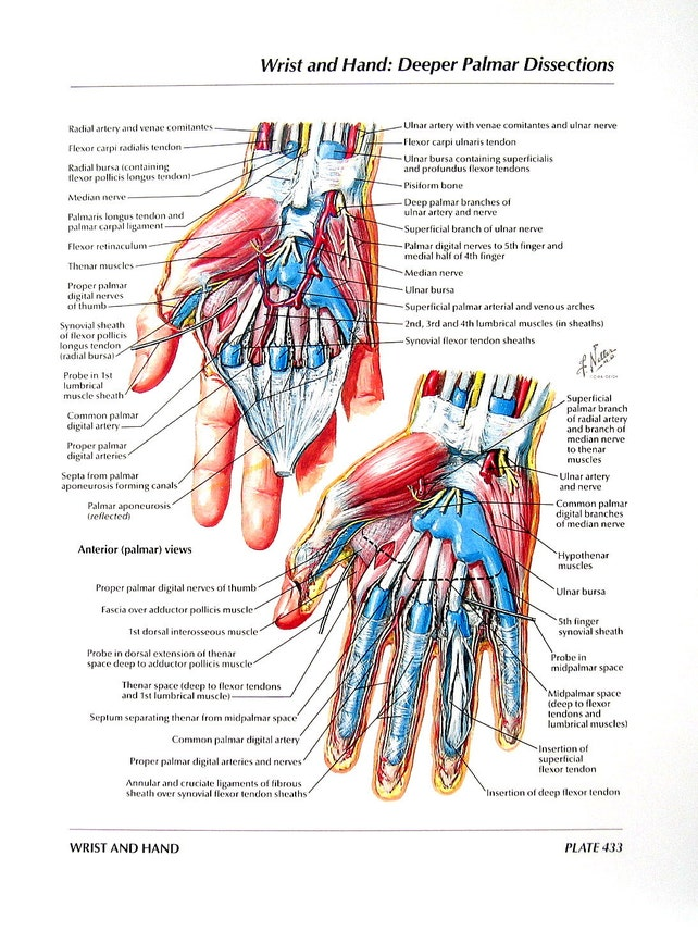 Anatomía grabado muñeca de la mano Palmar disecciones   Etsy