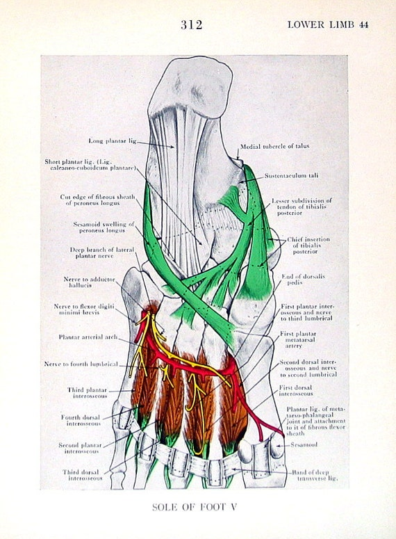 Sole Of The Foot Human Anatomy 2 Pages 1947 Anatomy Book Etsy
