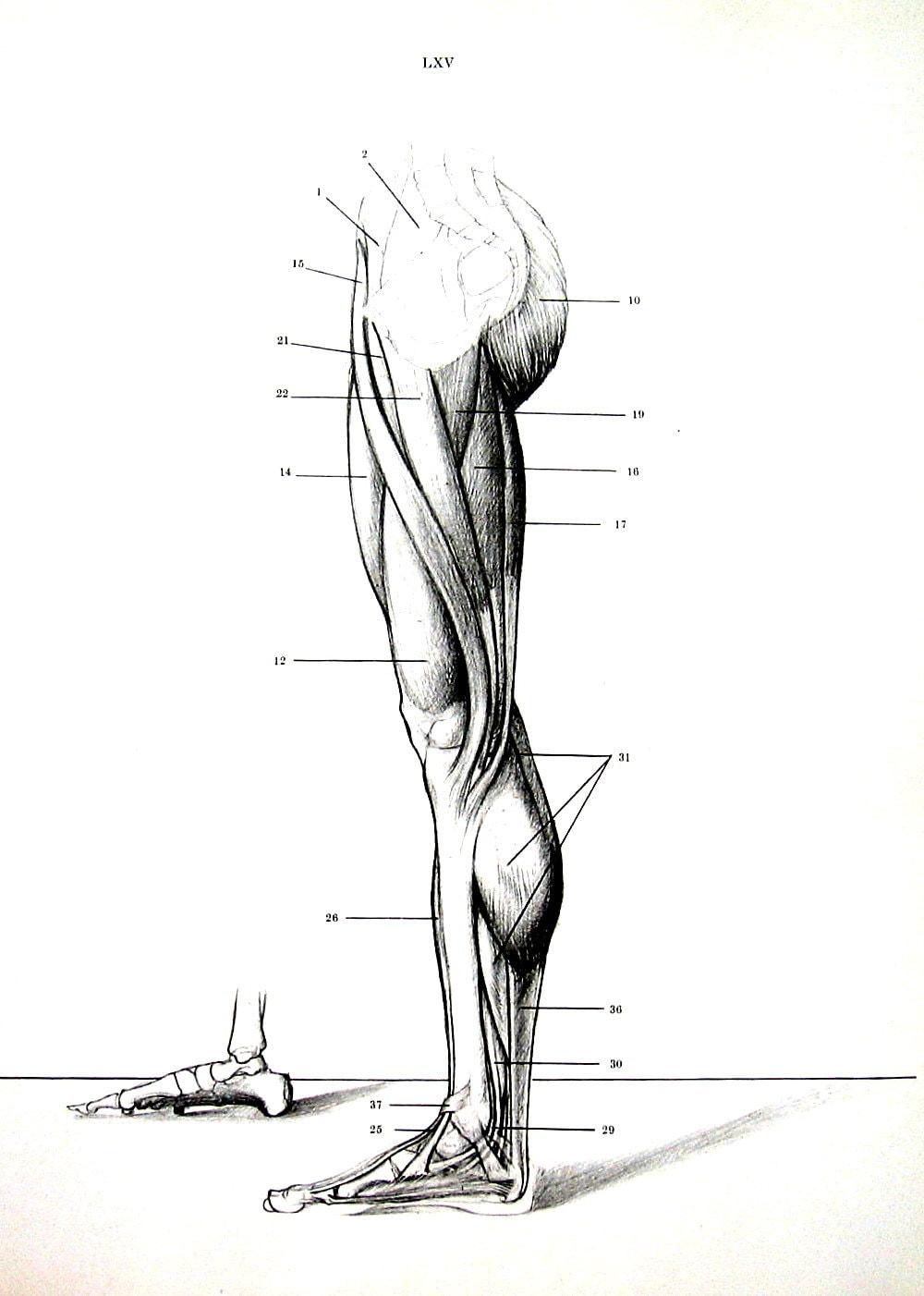 Menschliche Anatomie Beinmuskulatur 1975 Vintage Anatomie
