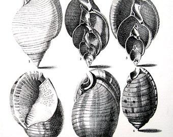 Shells Print - Bonnet Shells - Vintage 1979  Book Page - Black and White