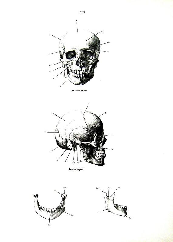 Anatomía humana los huesos del cráneo anatomía Vintage | Etsy
