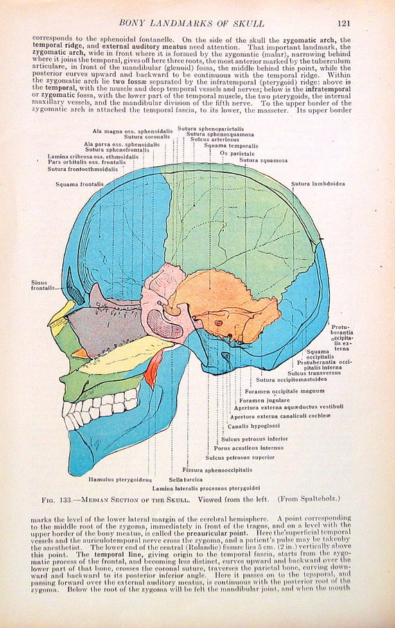 El cráneo humano Anatomía humana 1933 ilustración de libro | Etsy