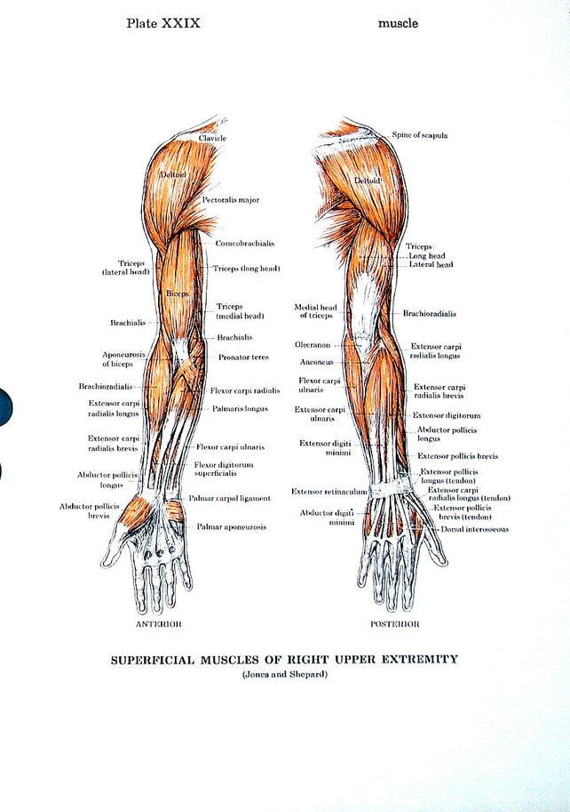 Músculos del brazo músculos del tronco Carta médica de la   Etsy