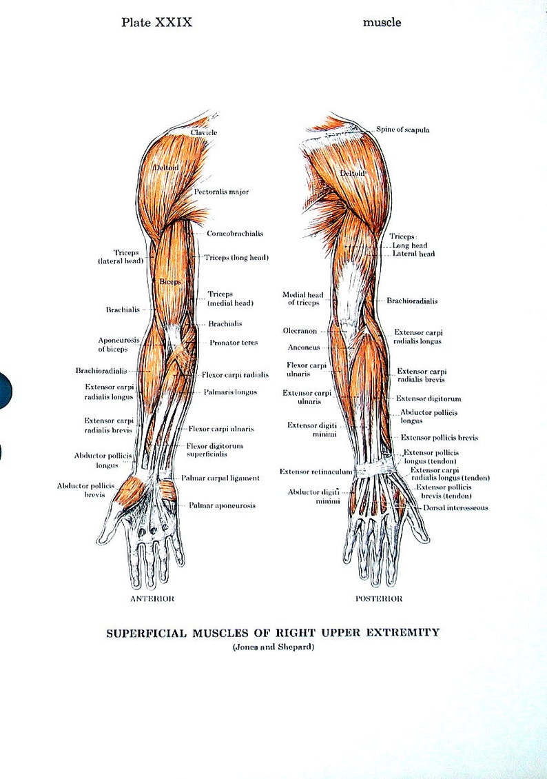 Muscles Of The Arm Muscles Of The Trunk Anatomy Medical Chart Etsy