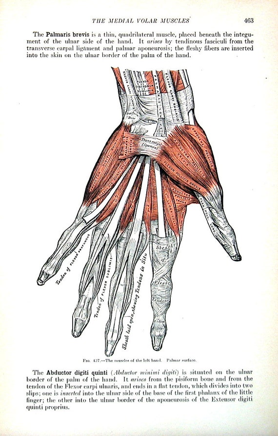 The Human Hand Muscles Of The Left Hand 1918 Human Etsy