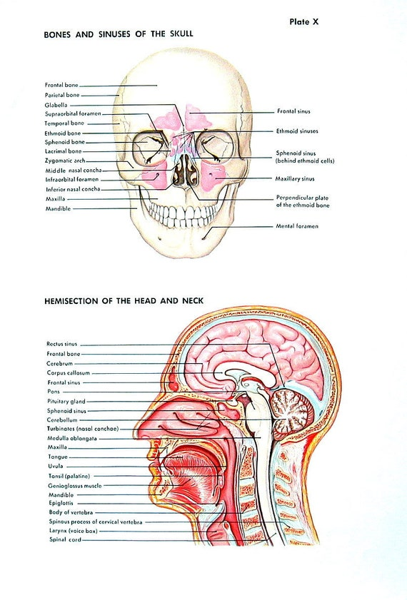 Human Anatomy Print The Skull Head And Neck The Ear The Etsy