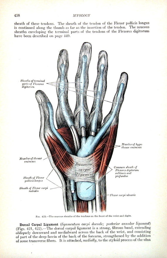 The Human Hand Tendons Of The Wrist And Fingers 1918 Human Etsy