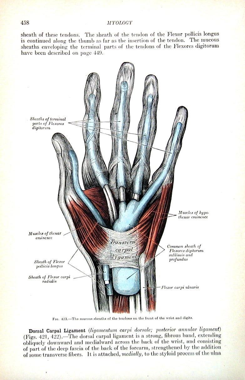 Erfreut Anatomie Der Hand Und Handgelenk Mit Sehnen Galerie ...
