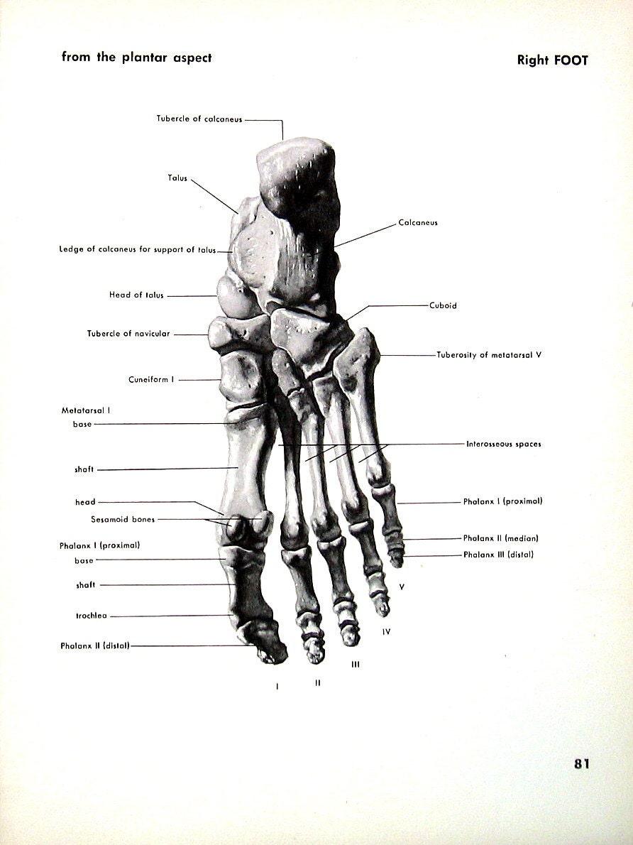 Tolle Detaillierte Anatomie Des Fußes Ideen - Anatomie Ideen ...
