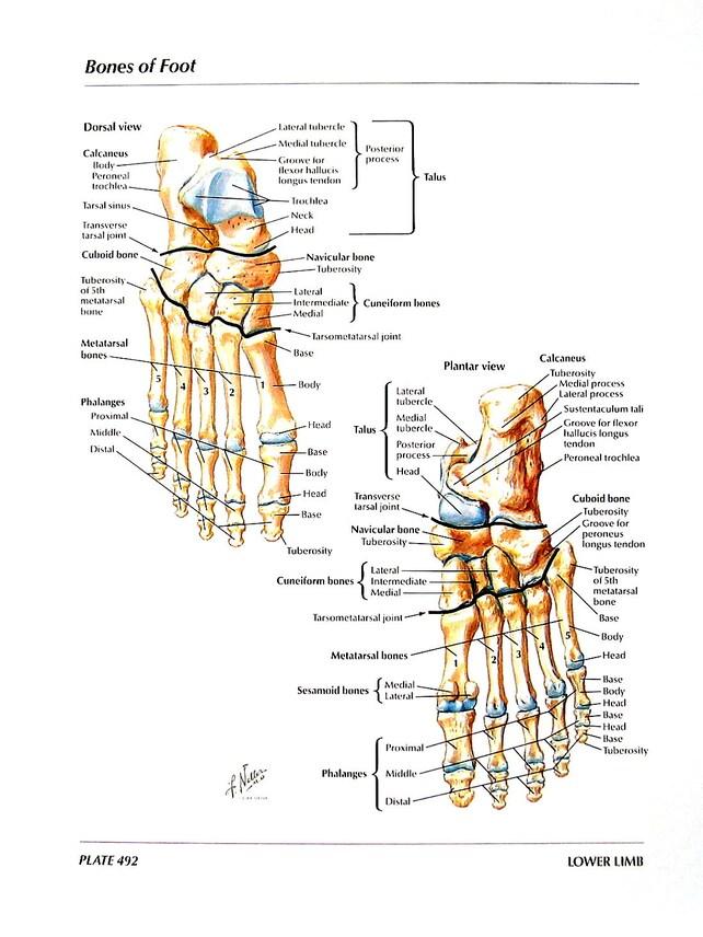 Anatomie Querschnitt Menschliches Bein Knochen des Fußes | Etsy
