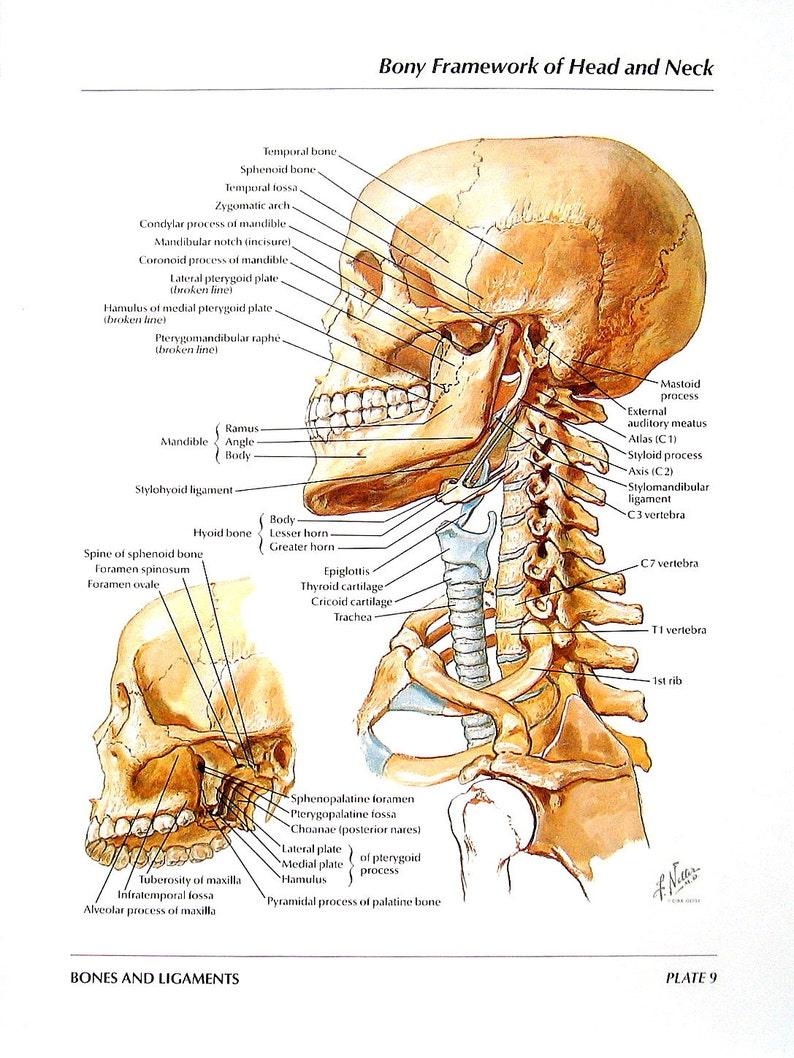 Anatomy Print Bony Framework Of Head And Neck The Mandible Etsy