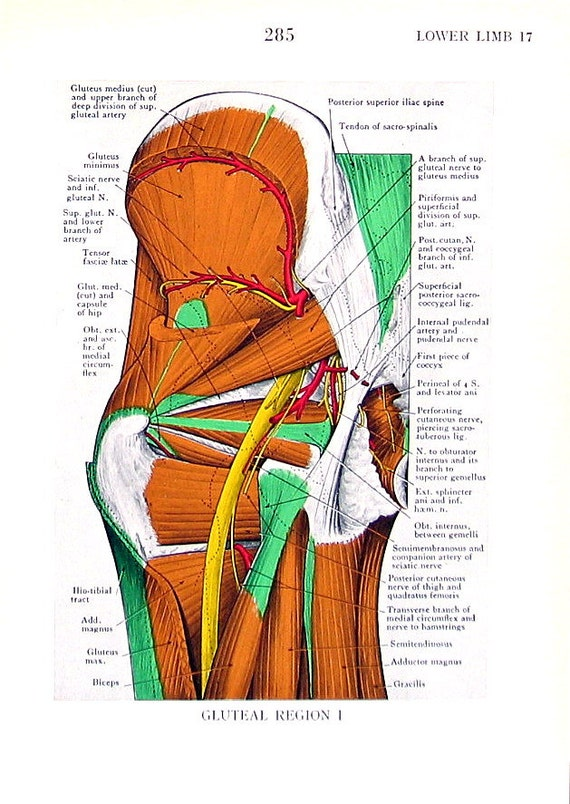 Human Anatomy Lower Limb Gluteal Region 2 Pages 1947 Etsy