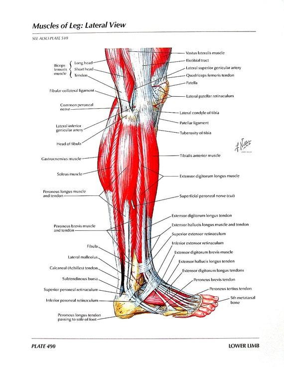 Impresión de anatomía músculos de la pierna anatomía | Etsy