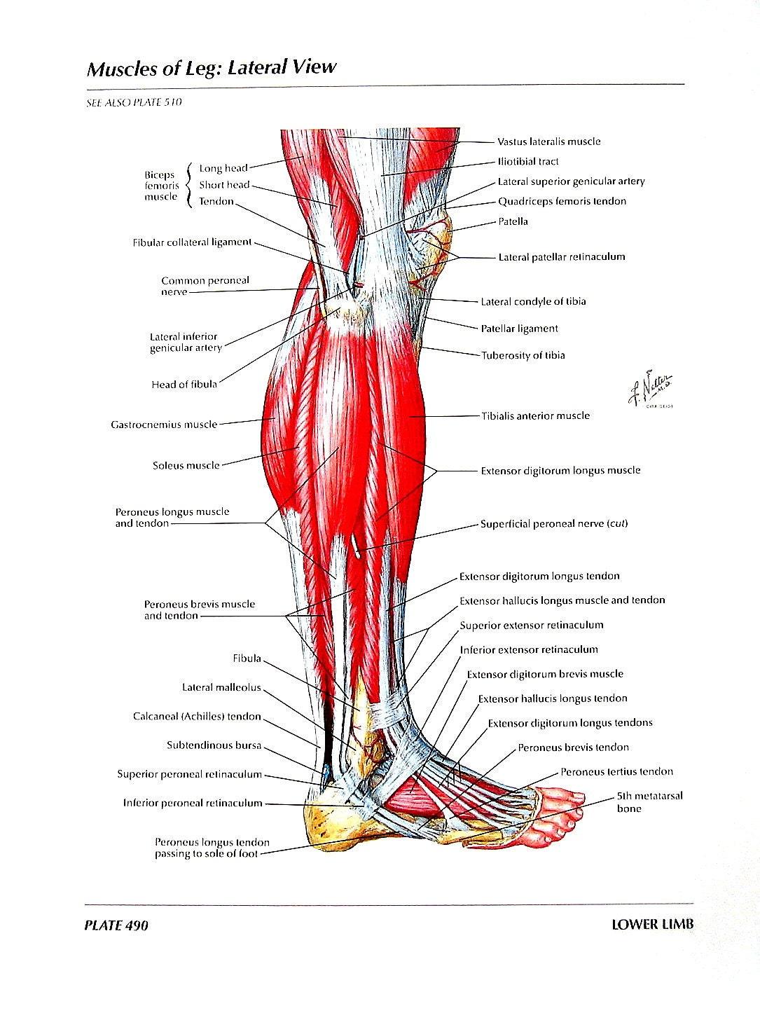 Anatomie-Grafik Muskeln der Bein Anatomie des Menschen | Etsy