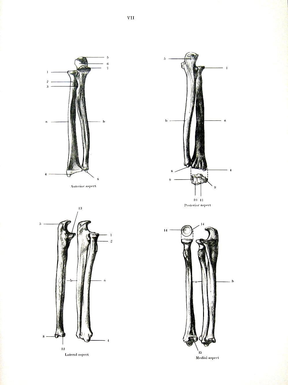 Unterarm Knochen menschliche Anatomie 1975 Vintage Anatomie | Etsy