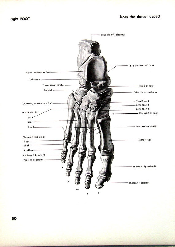 Menschlicher Fuß rechter Fuß 1951 Vintage Anatomie Buch
