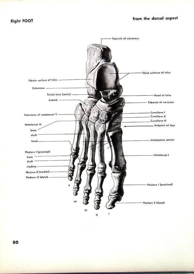 Pie pie derecho-1951 anatomía Vintage libro placa huesos   Etsy