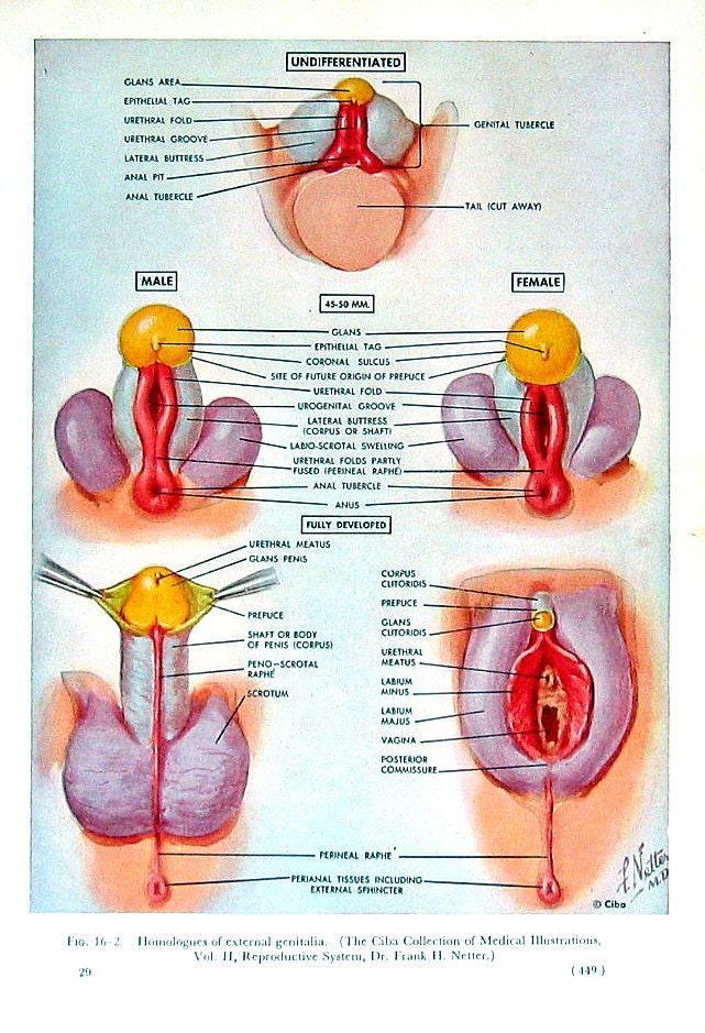 2 Seiten menschliche Genitalien 1965 menschliche   Etsy