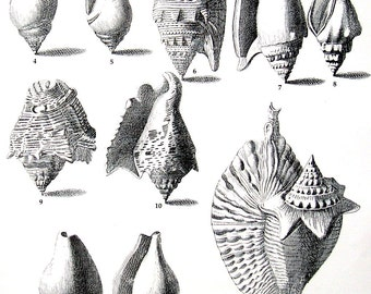 Shells Print - Murex Shells - Vintage 1979  Book Page - Black and White