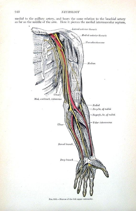 Die menschlichen Arm Nervensystem 1918 menschliche | Etsy