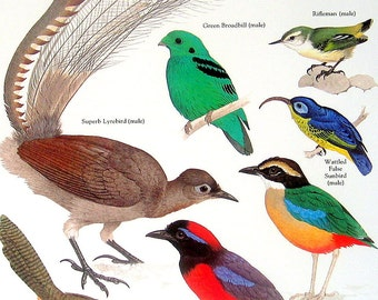Bird Print -  Superb Lyrebird, Green Broadbill, Rifleman, Garnet Pitta - Vintage 1984 Book Page