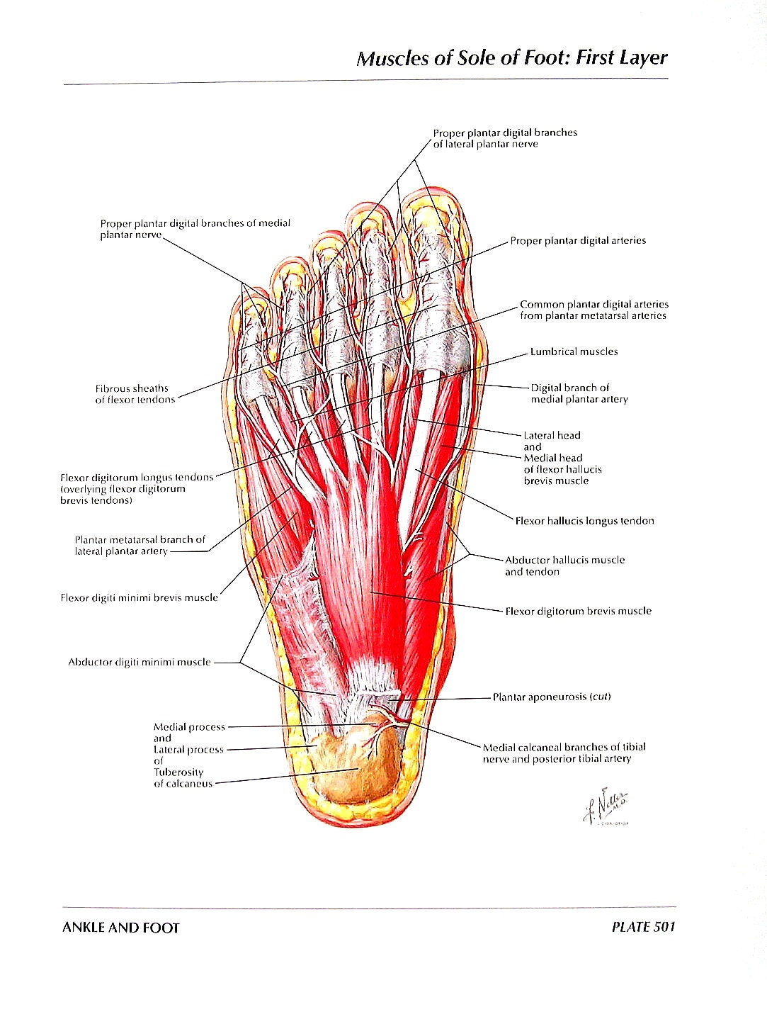 Anatomie Print Muskeln der Sohle des Fußes erste und zweite