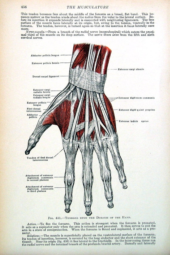 Human Anatomy Tendons Of The Hand 1933 Human Anatomy Book Etsy