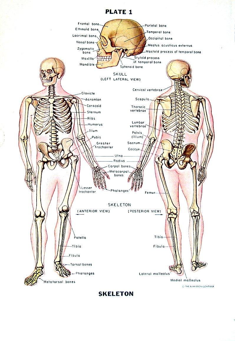 Human Skeleton Human Anatomy Chart 1949 Vintage Book Page Etsy