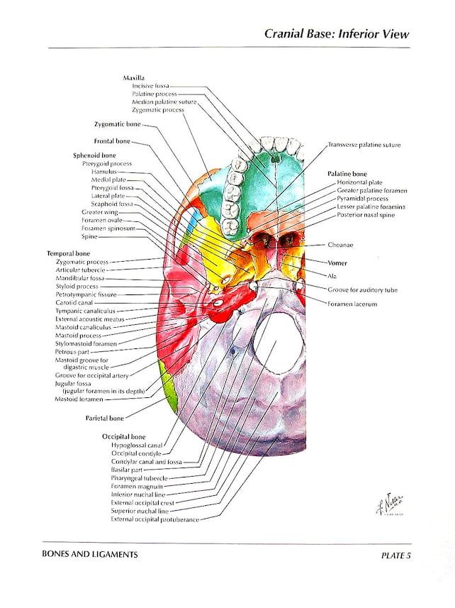 Anatomía grabado Base craneal del cráneo vista Inferior | Etsy