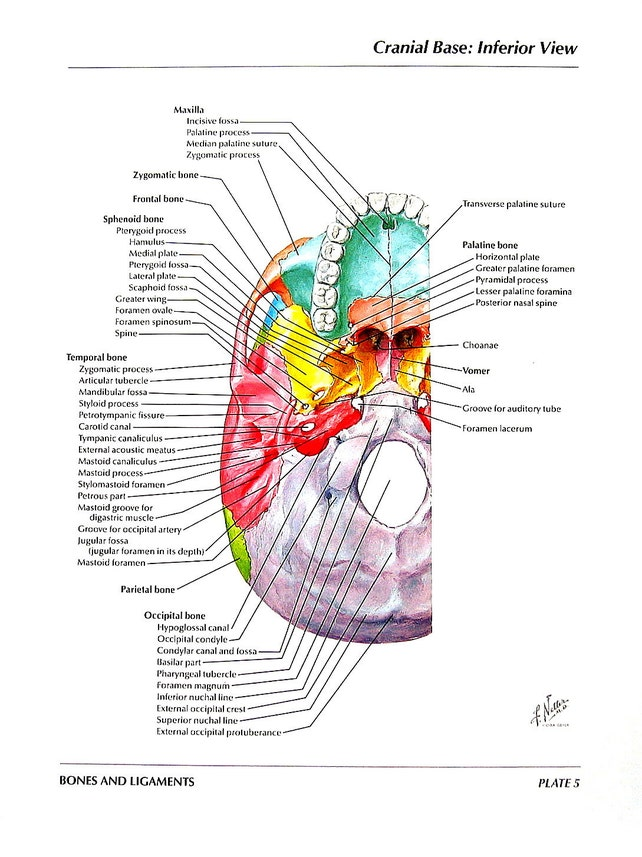 Anatomy Print Skull Cranial Base Inferior View Superior | Etsy