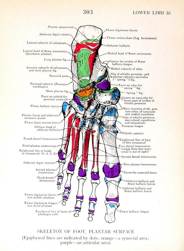 Niedlich Skelett Anatomie Des Fußes Fotos - Anatomie Ideen - finotti ...