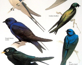 Barn Swallow, Purple Martin, Golden Swallo, Bank Swallow Vintage 1984 Birds Book Plate