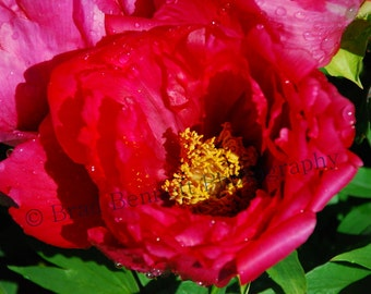 Magnificent Scarlet Red Chinese Tree Peony- Fine Art Photographic Print