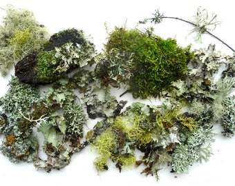 Moss Lichen Terrarium Twigs Forest Organic Collection 6 Priority Mail