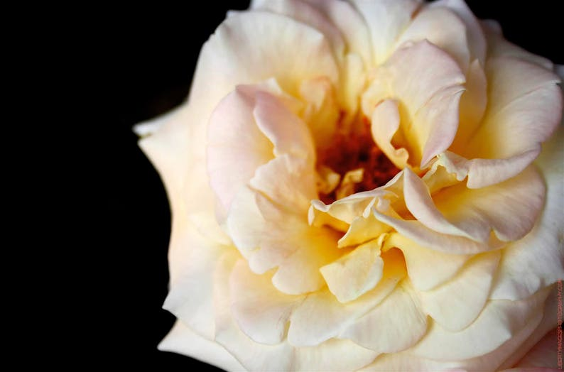 Rose Photo Art  Creamy White and Pink Rose Photograph  image 0