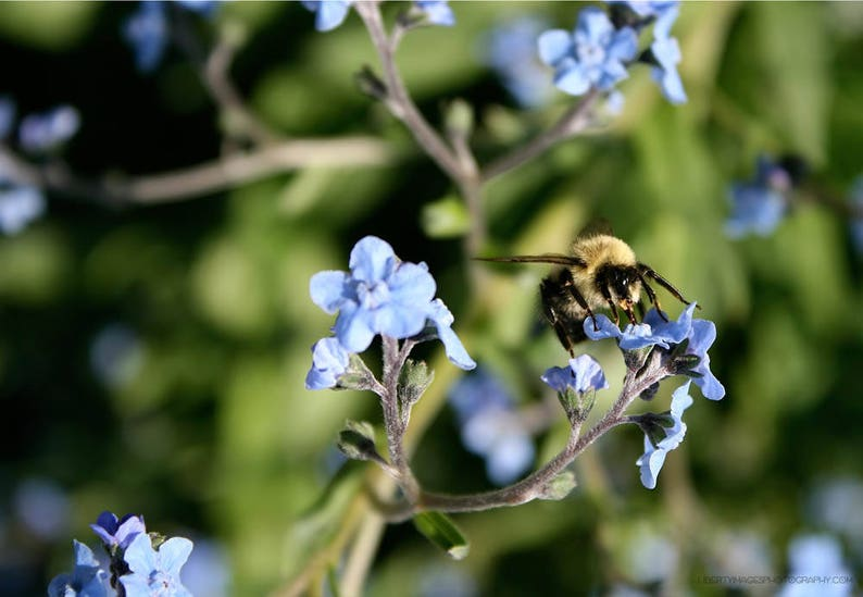 Pollinating Bumblebee Garden Photograph  Fuzzy Bee Photo Art image 0