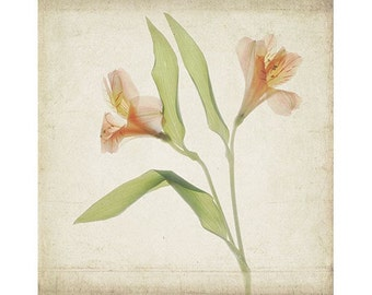 Botanical  Print,  Peruvian Lily, Scanned Flower, Shabby Chic Wall Art, Vintage Inspired