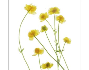 Yellow Buttercups Print,  Wildflower Botanical Art Print, Flower Scan, Minimalist, X-Ray, Floral Art Print