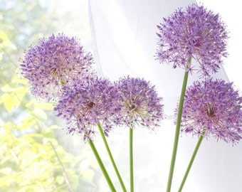 Purple Allium Photograph, Flower Wall Decor, Cottage Chic.  Pastel Wall Art, Flower Art Print, Nursery Decor