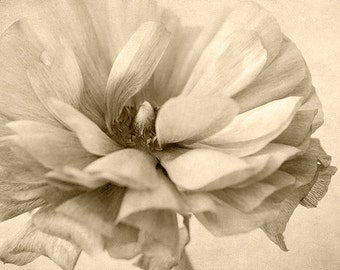 Sepia Print, Flower Print,  Ranunculus Photograph, Flower Photography, Cottage Chic Decor, Bedroom Decor,