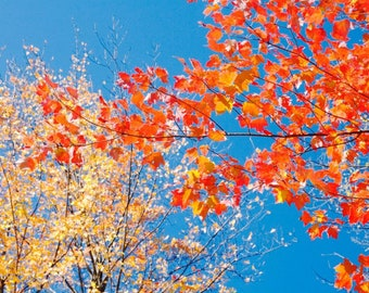 Autumn Foliage Photograph, New England, Tree Photography, Abstract Print, Red Wall Art