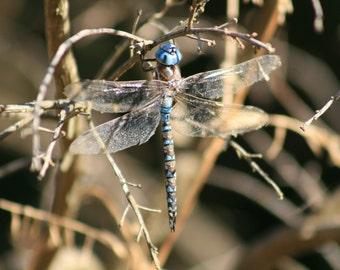 Sapphire Dragonfly - 5x7 Fine Art Photograph