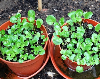 1000 True Watercress Seeds, Nasturtium Officinale, Perennial Plant Native, Rapidly Growing, Heirloom Non-GMO, Heirloom Seeds, FREE SHIP