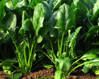 150 Noble Giant Spinach Seeds, Spinach Organic Seeds, Spinacia Oleracea, Fresh Vegetable Seeds, Heirloom Non-GMO, Heirloom Seeds, FREE SHIP