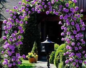 Purple Climbing Rose 20 Seeds, Very Beautiful Ornamental Climbing Flowers, Flower Garden Plant Seedlings, Heirloom Non-GMO, FREE SHIP